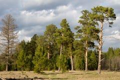 Los pinos enormes se están colocando en el claro Fotos de archivo libres de regalías