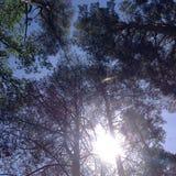 Los pinos estiran en el cielo fotos de archivo libres de regalías