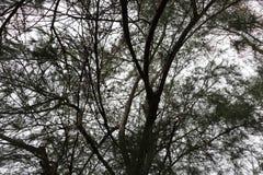 Los pinos son árbol duradero, árboles de pino están imperecederos, los árboles de pino prendido Fotos de archivo