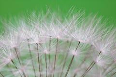 Los pistilos suaves hermosos de la flor blanca del diente de león de la textura destacaron el modelo con el espacio de la copia Imagen de archivo libre de regalías