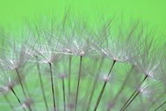 Los pistilos suaves hermosos de la flor blanca del diente de león de la textura destacaron el modelo con el espacio de la copia Imágenes de archivo libres de regalías