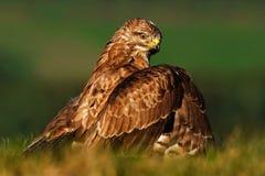 Los pájaros de ruegan el halcón común, buteo del Buteo, sentándose en la hierba con el bosque verde borroso en fondo Halcón común Foto de archivo