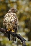 Los pájaros de ruegan el halcón común, buteo del Buteo, sentándose en la rama con el bosque borroso del amarillo del otoño en fon Imagen de archivo