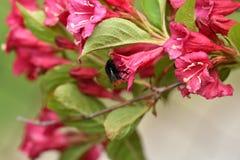 Los polinates de la abeja en la flor Fotos de archivo