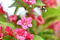 Los polinates de la abeja en la flor Fotografía de archivo