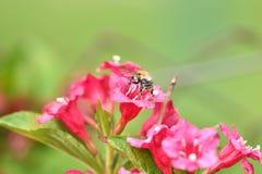 Los polinates de la abeja en la flor Imágenes de archivo libres de regalías