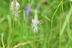 Los polinates de la abeja en la flor Foto de archivo libre de regalías