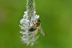 Los polinates de la abeja en la flor Fotografía de archivo libre de regalías