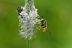 Los polinates de la abeja en la flor Imagen de archivo