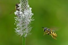 Los polinates de la abeja en la flor Imagenes de archivo