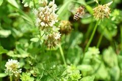 Los polinates de la abeja en la flor Fotos de archivo libres de regalías