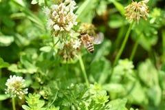 Los polinates de la abeja en la flor Foto de archivo