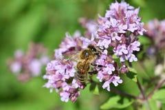 Los polinates de la abeja en la flor Imagen de archivo libre de regalías