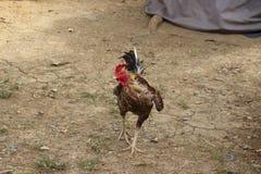 Los pollos amontonan en la tierra por la mañana Imagen de archivo