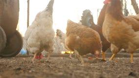 Los pollos comen el grano en la yarda almacen de video