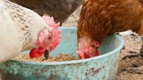 Los pollos comen el grano Primer almacen de metraje de vídeo