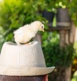 Los pollos del bebé encendido sirven la cabeza Imágenes de archivo libres de regalías