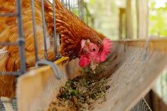 Los pollos en una jaula picotean la comida de un canal de alimentación Imágenes de archivo libres de regalías