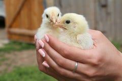 Los pollos están en caja fuerte Fotos de archivo libres de regalías