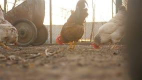 Los pollos hermosos están buscando el grano en la tierra almacen de metraje de vídeo