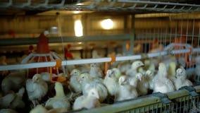 Los pollos jovenes están comiendo y están bebiendo almacen de metraje de vídeo