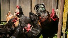 Los pollos libres de la gama vagan por la yarda en una granja almacen de video