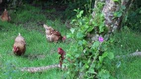 Los pollos o las gallinas liberan la gama entre los árboles metrajes