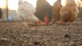 Los pollos pastan en la tierra almacen de metraje de vídeo