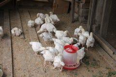 Los pollos tomateros en el gallinero comen Imagen de archivo