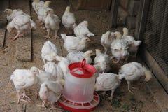 Los pollos tomateros en el gallinero comen Imagenes de archivo