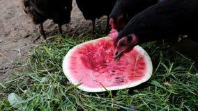 Los pollos y los gallos hambrientos comen cierre de la sandía para arriba en la naturaleza en el verano, cámara lenta almacen de video