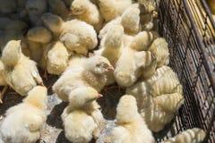 Los polluelos amarillos del pollo del bebé, pequeños y muy hermosos se colocan en la caja de la jaula de la red del metal para la imagenes de archivo
