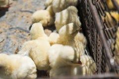 Los polluelos amarillos del pollo del bebé, pequeños y muy hermosos se colocan en la caja de la jaula de la red del metal para la foto de archivo libre de regalías