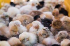 Los polluelos amarillos del pollo del bebé, pequeños y muy hermosos se colocan en la caja plástica de la jaula para la venta en u imagen de archivo