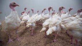 Los polluelos blancos del pavo corren lejos de cámara en la granja avícola metrajes