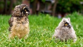 Los polluelos del búho de orejas alargadas y del búho de orejas cortas que se sientan en la hierba imagen de archivo