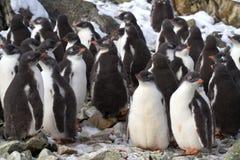 Los polluelos del pingüino de Adelie de la guardería tienen cerca de la cuesta Imágenes de archivo libres de regalías