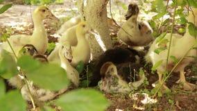 Los polluelos fueron para un paseo en un buen día soleado Los anadones sucios divertidos debajo del árbol verde están buscando la almacen de video