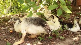 Los polluelos fueron para un paseo en un buen día soleado Los anadones sucios divertidos debajo del árbol verde están buscando la almacen de metraje de vídeo