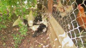 Los polluelos fueron para un paseo en un buen día soleado Los anadones sucios divertidos debajo del árbol verde están buscando la metrajes