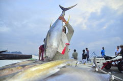 Los porteros están cargando el atún sobre el camión a la fábrica de los mariscos en la ciudad de General Santos Imagen de archivo