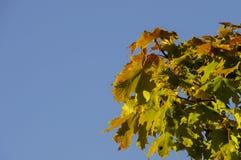 Los primeros colores del otoño - hojas de arce verdes que comienzan a dar vuelta a rojo en un día soleado Fotografía de archivo libre de regalías