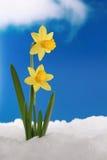Narcisos en nieve Foto de archivo libre de regalías