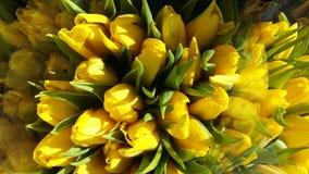 Los primeros tulipanes que crecieron por el primer día de primavera imágenes de archivo libres de regalías