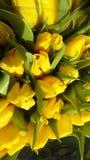 Los primeros tulipanes que crecieron por el primer día de primavera imagen de archivo