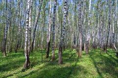 Los primeros verdes en madera de abedul del resorte Fotografía de archivo libre de regalías