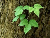 Los prospectos triples característicos de una hiedra venenosa plantan el crecimiento en un tronco de árbol del sicómoro fotografía de archivo