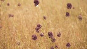 Los puntos de flores púrpuras del ajo salvaje en un fondo del fondo natural del extracto amarillo de la hierba redujeron el vídeo almacen de metraje de vídeo