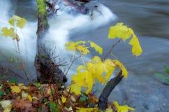 Los rápidos de un río de la inundación vierten sobre registros cubiertos musgo mientras que los arbustos agitan en la corriente Foto de archivo libre de regalías