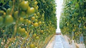Los racimos de tomates no maduros se están criando en un verdor almacen de metraje de vídeo